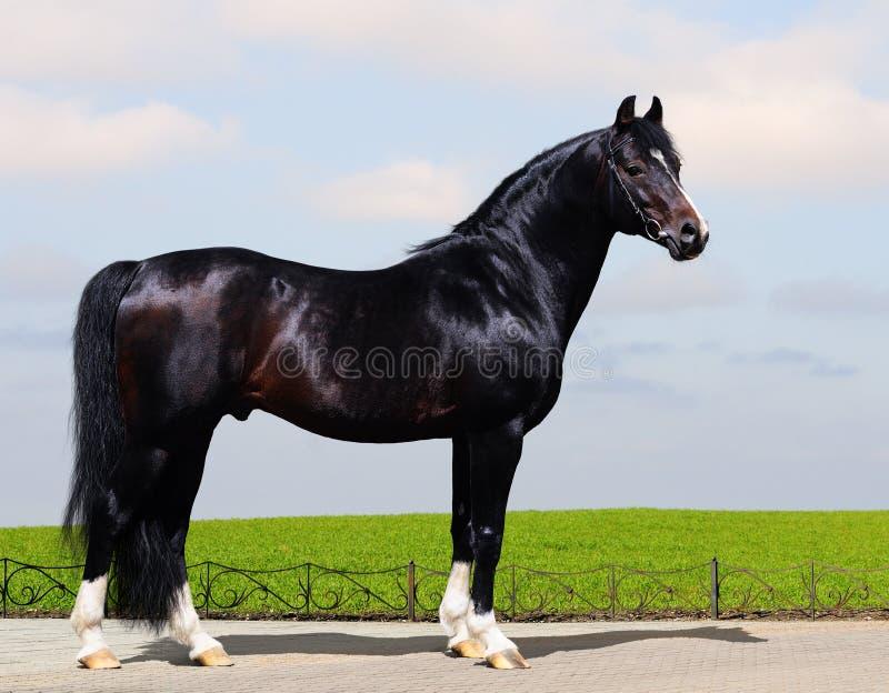 Black Trakehner Stallion Stock Images
