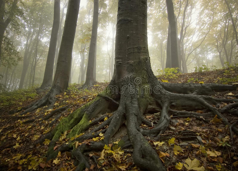 Black tree with big roots in a golden fores stock photos