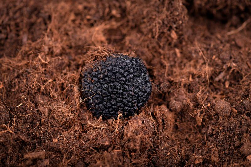 Black truffle in the ground. Truffle hunt. Mushroom cultivation. Delicacy exclusive truffle mushroom. Piquant and. Fragrant French delicacy stock photos