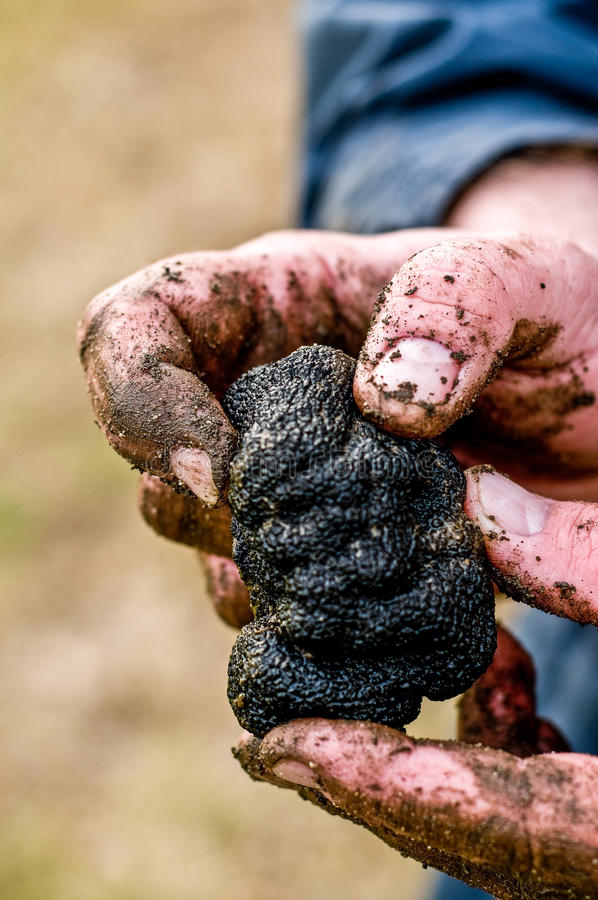 Black truffle hands. Freshly harvested black australian truffle and mans hands covered in dirt royalty free stock image