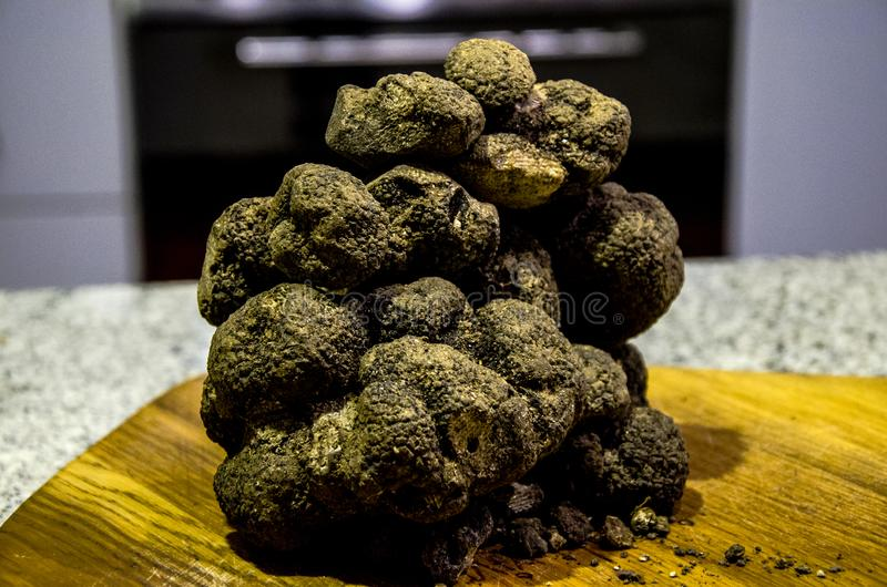 Black truffles. A freshly dug up culinary gastronomic delicacy, black truffles in Abruzzo, italy stock images