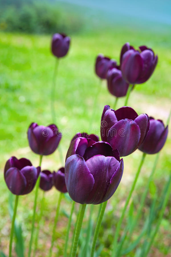 Black tulip flowers grow on spring meadow stock image image of download black tulip flowers grow on spring meadow stock image image of season bloom mightylinksfo