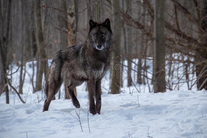 A black Tundra Wolf standing firm in the snowy forest royalty free stock image