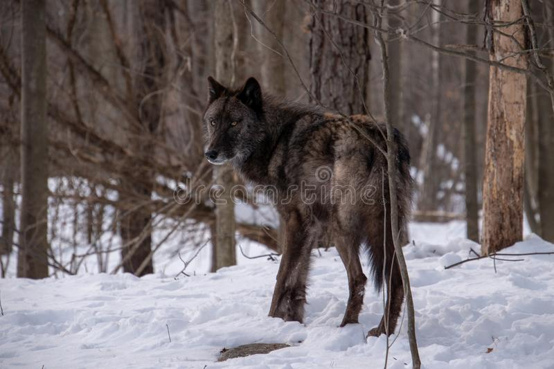 A black Tundra Wolf looking into the distance in the snowy forest during Winter royalty free stock photos