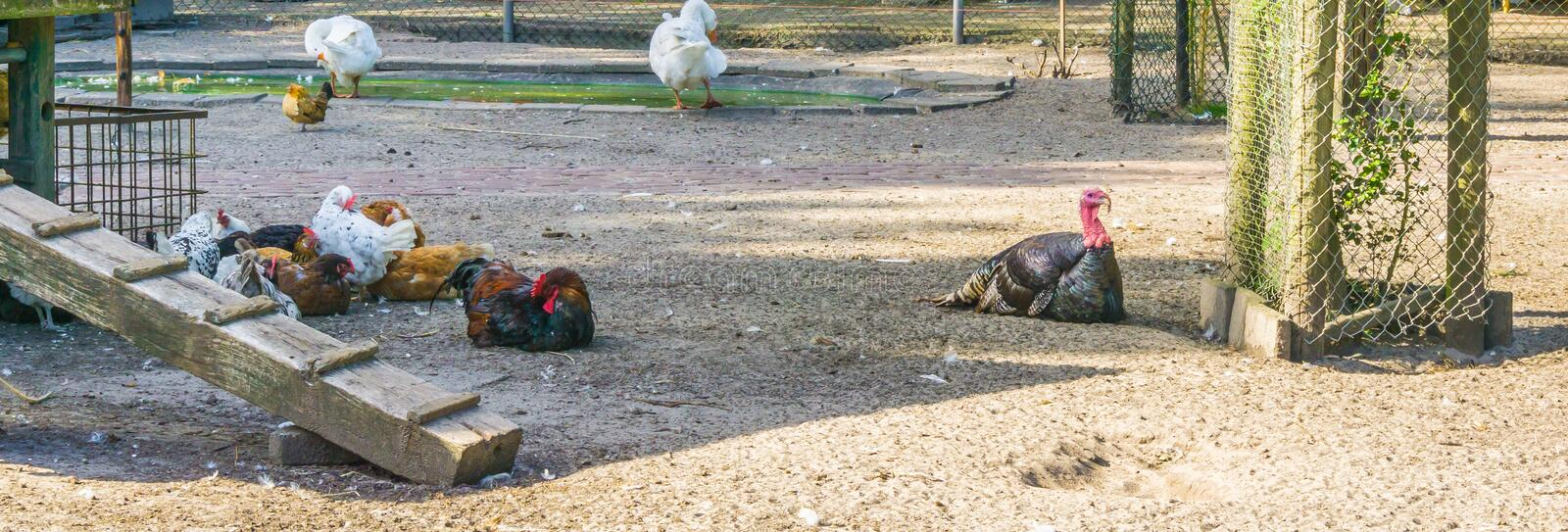 Black turkey with a group of chickens at the animal farm stock photo