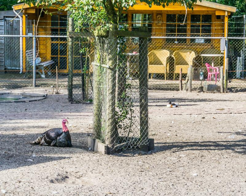 Black turkey next to a tree animal farm royalty free stock photo