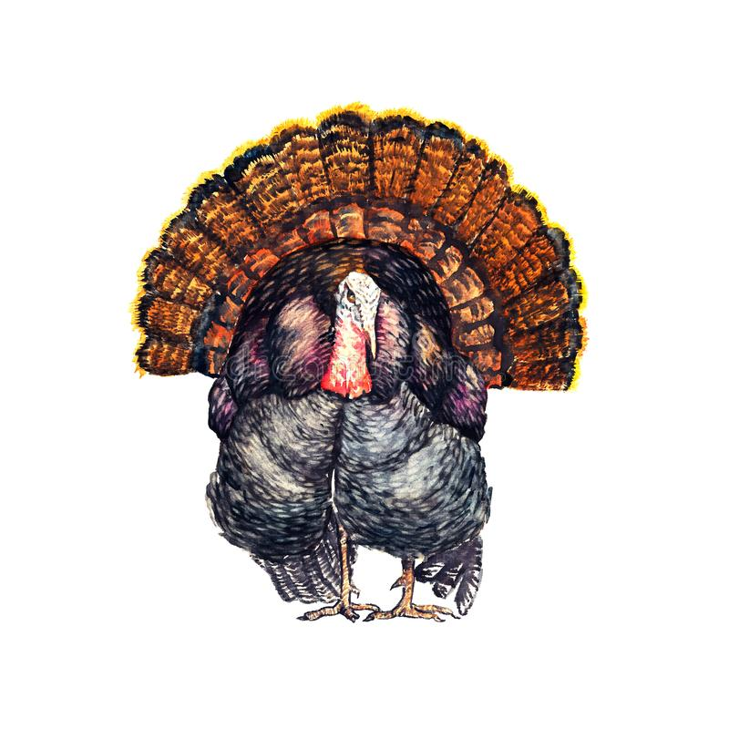 Black turkey standing, front view, isolated watercolor illustration stock illustration