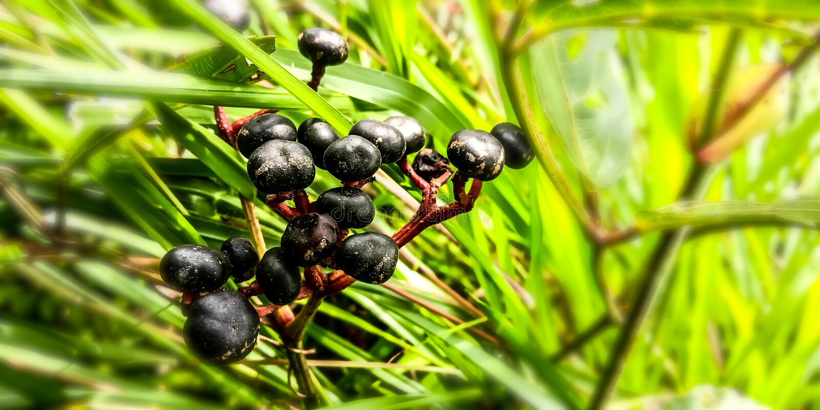 Black twins Berry in the forest. Green, natural, nature, plant, plants, plantation stock image