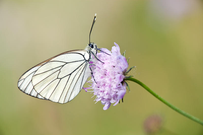 Black veined butterfly