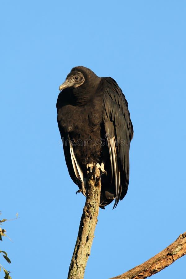 Download Black Vulture stock image. Image of animal, bird, hawks - 17015473