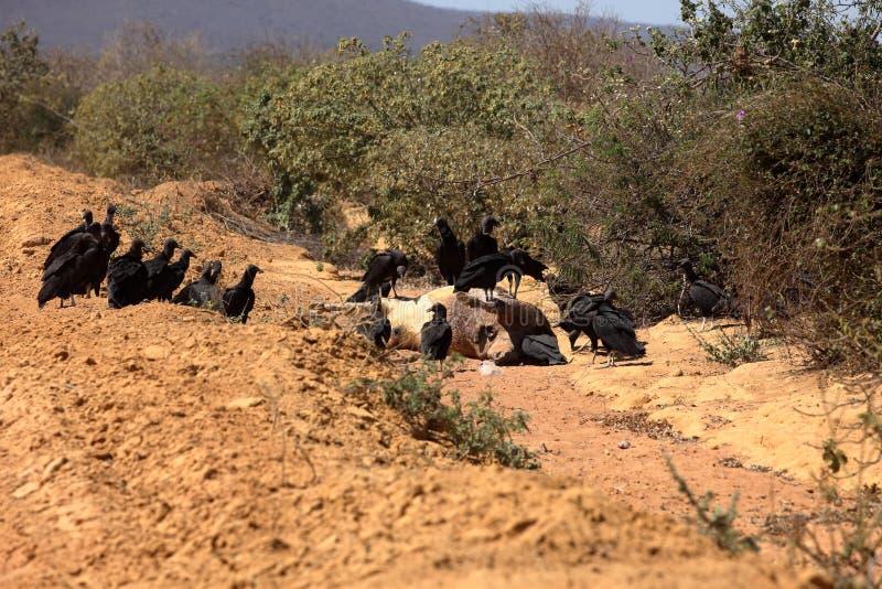 Black Vulture at Aas seizure. The Black Vulture at Aas seizure royalty free stock images