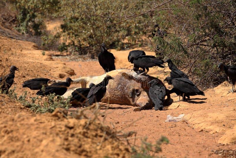 Black Vulture at Aas seizure. The Black Vulture at Aas seizure royalty free stock photos