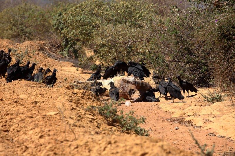 Black Vulture at Aas seizure. The Black Vulture at Aas seizure stock image