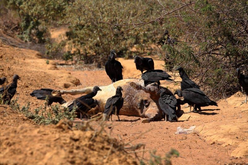 Black Vulture at Aas seizure. The Black Vulture at Aas seizure stock images