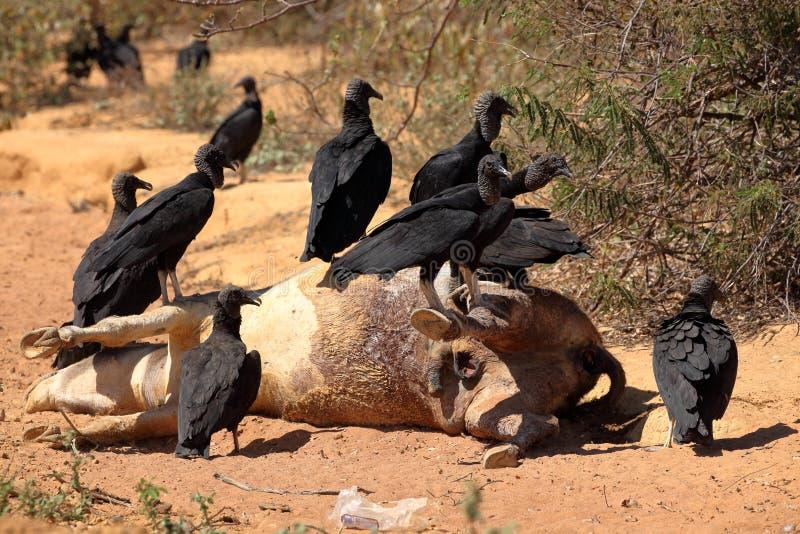 Black Vulture at Aas seizure. The Black Vulture at Aas seizure stock photo