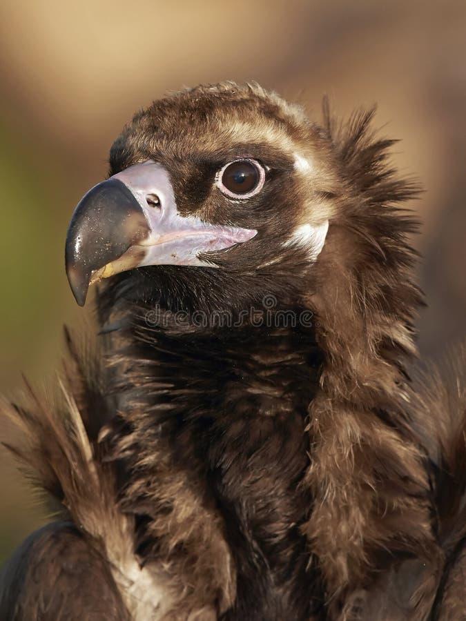Black vulture (Aegypius monachus) stock photos