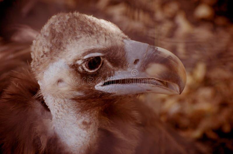 Black vulture, Aegypius monachus, Young wild bird through zoo cage. royalty free stock photos