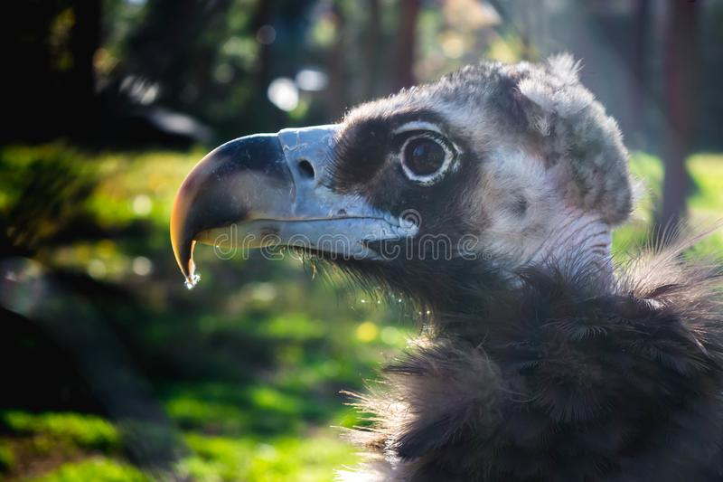 Black vulture. And white vulture in one cage, bird, coragyps, atratus, prey, wildlife, animal, nature, scavenger, vultures, beak, raptor, feather, portrait royalty free stock photography