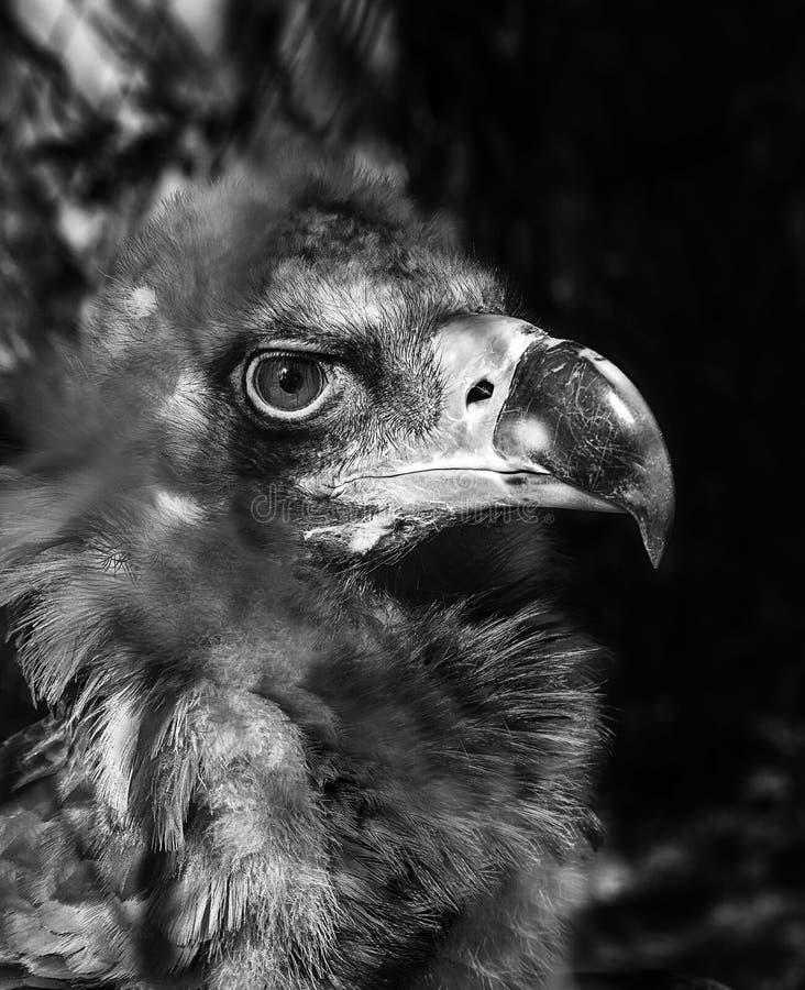 Black vulture Cinereous portrait close-up. Black vulture Cinereous Black Vulture looks stern look portrait close-up royalty free stock photography