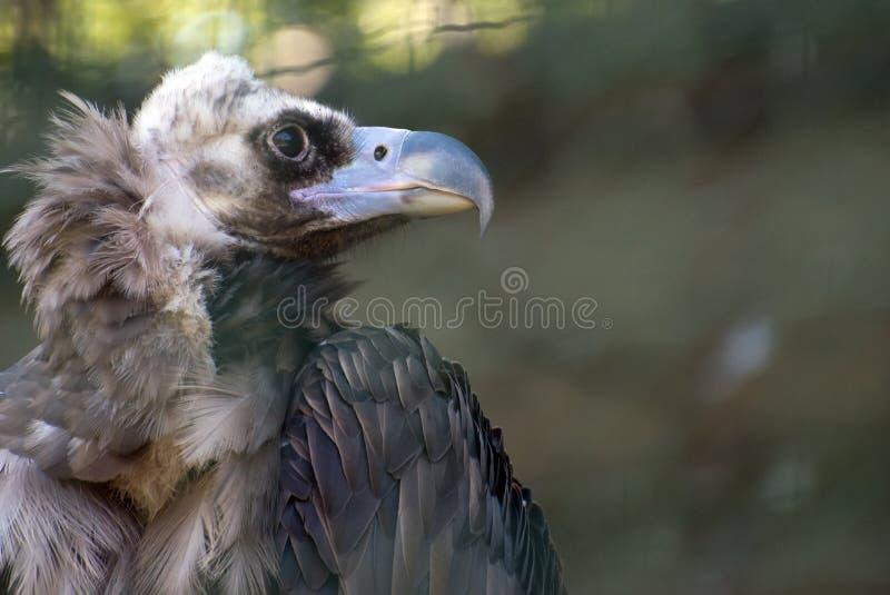 Black vulture. stock images