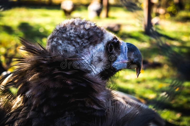 Black vulture. And white vulture in one cage, bird, coragyps, atratus, prey, wildlife, animal, nature, scavenger, vultures, beak, raptor, feather, portrait stock photography