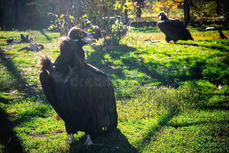 Black vulture. And white vulture in one cage, bird, coragyps, atratus, prey, wildlife, animal, nature, scavenger, vultures, beak, raptor, feather, portrait stock photo