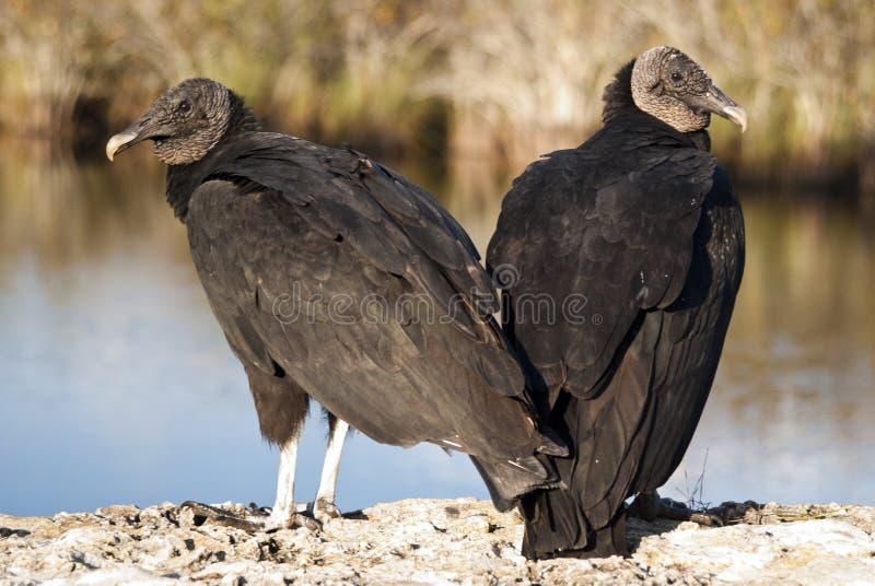 Download Black Vultures stock image. Image of black, animal, gyps - 17748635