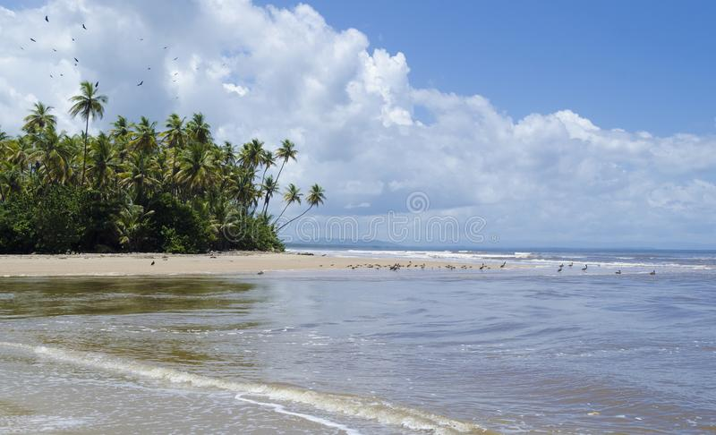 Point Radix East Coast Trinidad. Black Vultures over the coconut trees and Brown Pelicans on the beach at Point Radix East Coast Trinidad royalty free stock photo