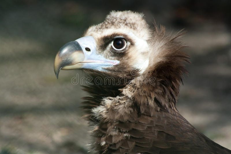 Black vultvure. Black Vulture also known as Cinerous vulture stock photos