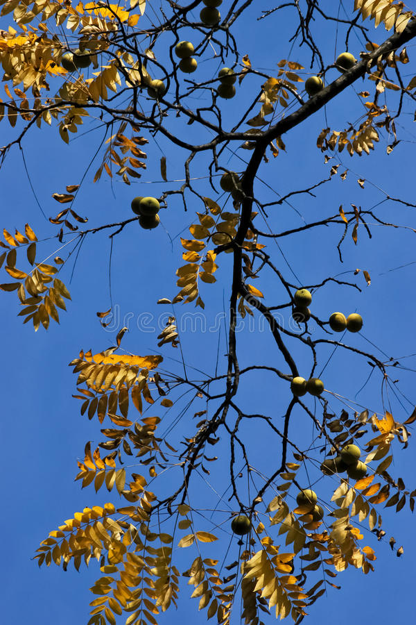 Download Black walnut stock photo. Image of open, fall, morning - 23410568