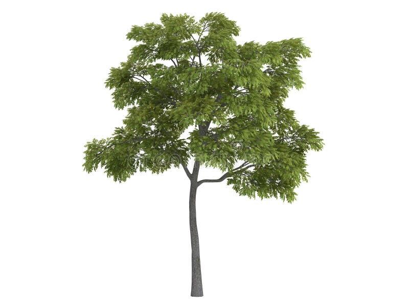 Black_walnut_ (Juglans_nigra) vector illustratie