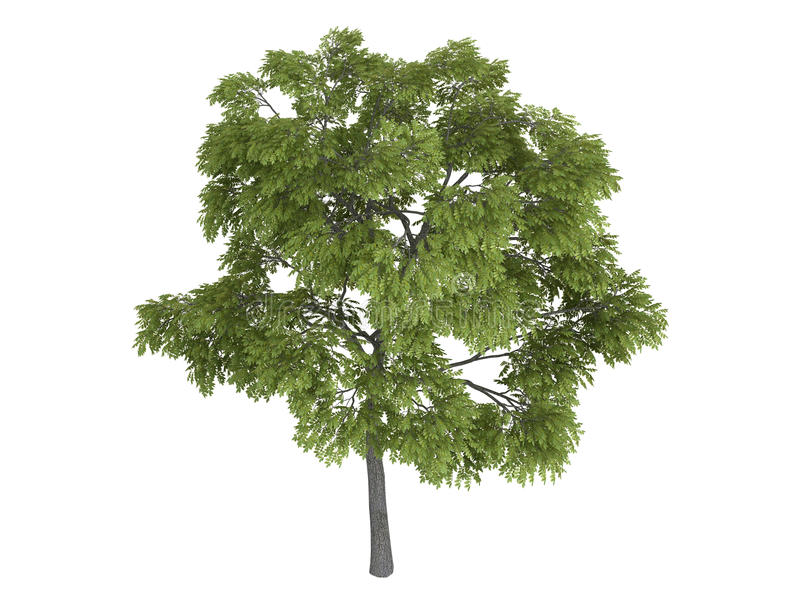 Black_walnut_ (Juglans_nigra) ilustración del vector