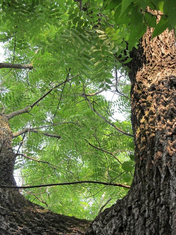 Black Walnut Tree stock images