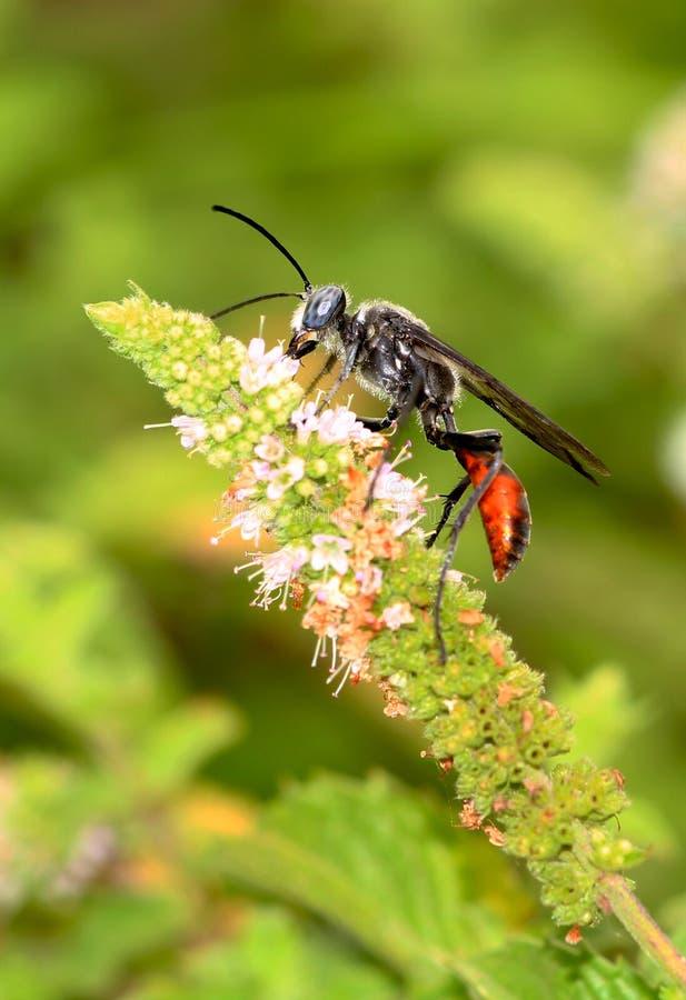 Black Wasp Royalty Free Stock Photography