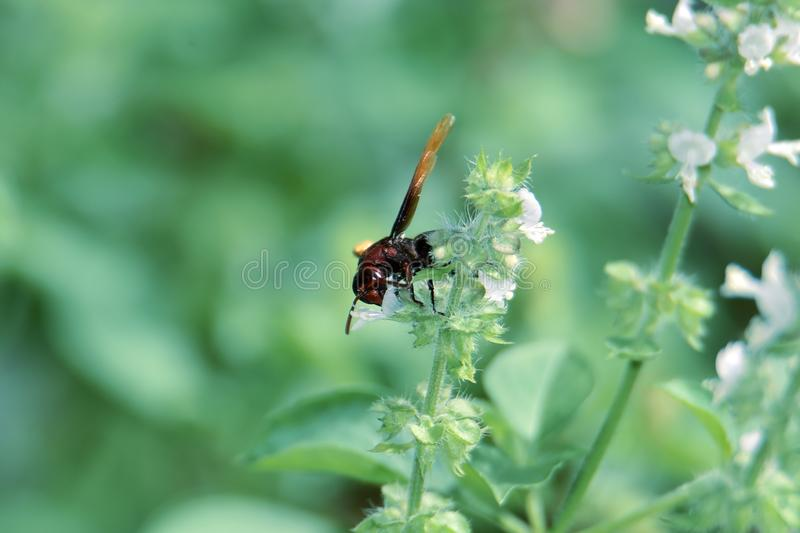 Black wasp with brown wings. Sucking white flower essence and green leaves stock photos