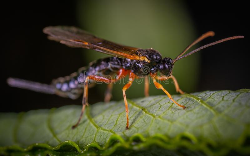 Black Wasp Perched on Green Leaf Closeup Photography royalty free stock photo