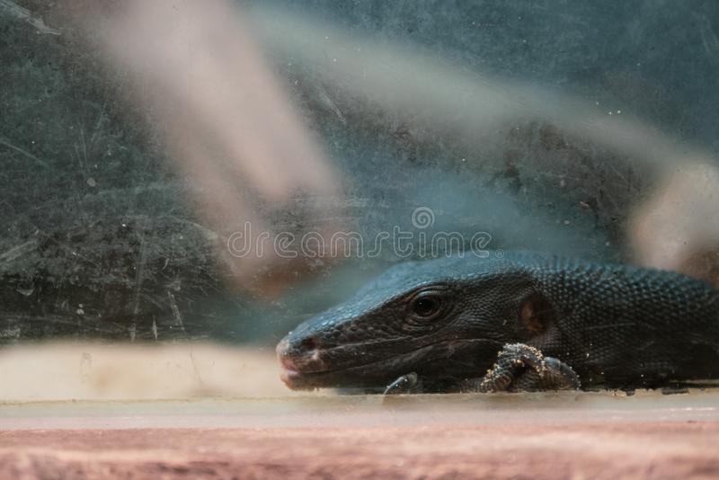 Black Water Monitor`s head royalty free stock image