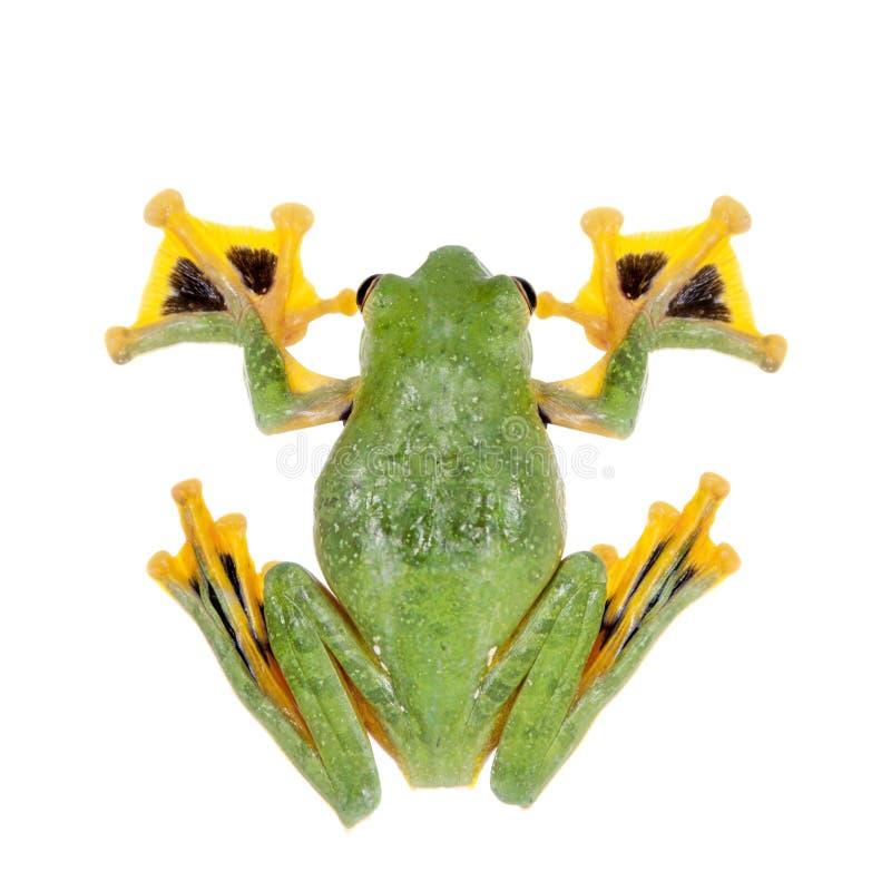 Black-webbed flying tree frog isolated on white. Black-webbed flying tree frog, Rhacophorus kio, isolated on white background stock images