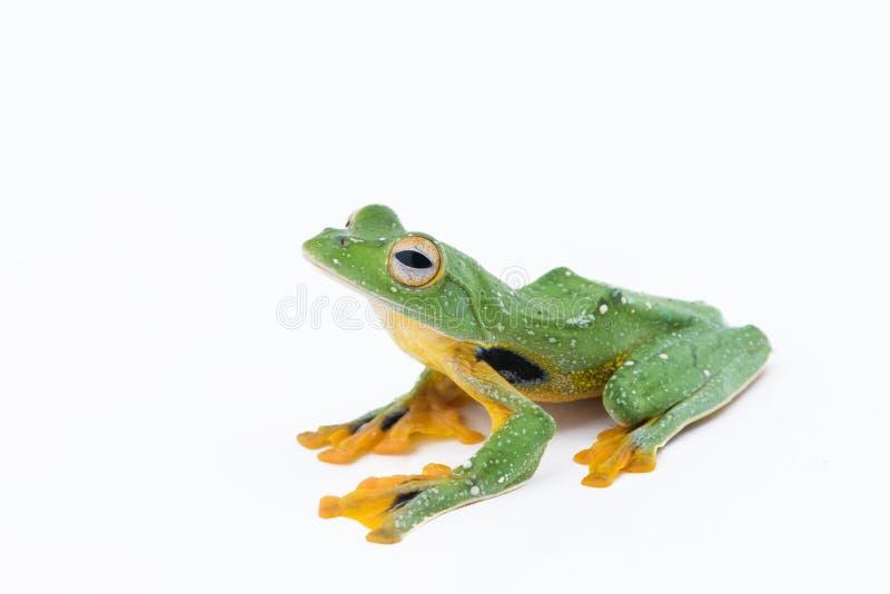 Black-webbed flying tree frog, Rhacophorus kio, on white background royalty free stock image