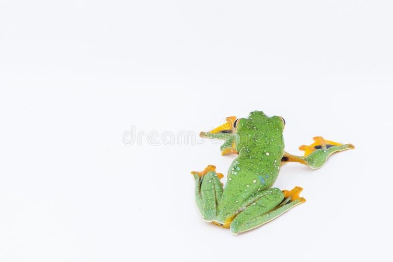 Black-webbed flying tree frog, Rhacophorus kio, on white background stock photography