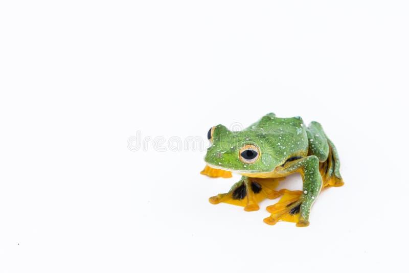 Black-webbed flying tree frog, Rhacophorus kio, on white background stock photo