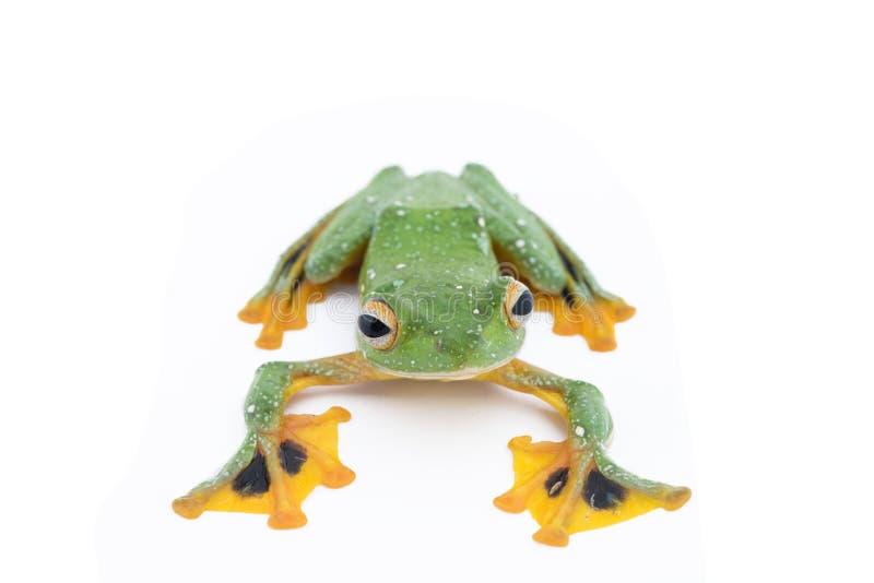 Black-webbed flying tree frog, Rhacophorus kio, on white background stock image