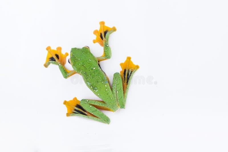 Black-webbed flying tree frog, Rhacophorus kio, on white background royalty free stock images