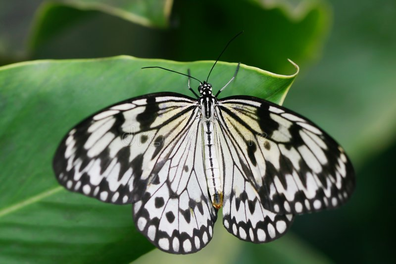 Black and white. Tropical butterfly on green leaf royalty free stock photography