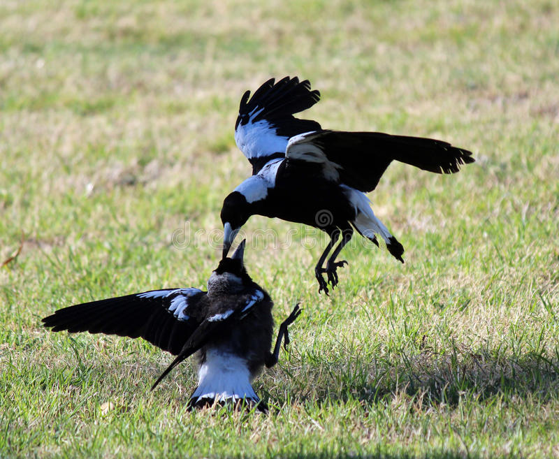 Black and white Australian Magpies Gymnorhina Tibicen having a tiff over food. The black and white Australian Magpies Gymnorhina Tibicen a member of the stock photo