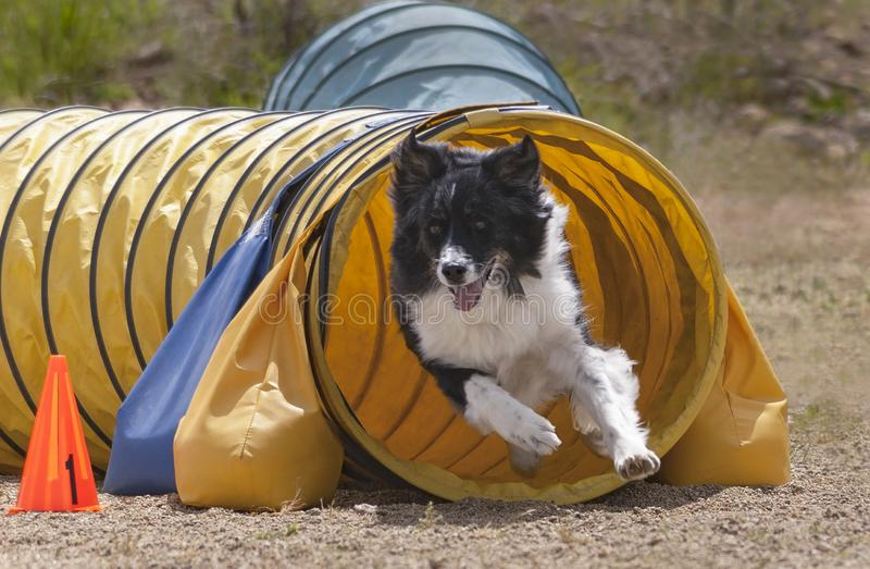 Aussie Dog Running Out of an Agility Tunnel stock image