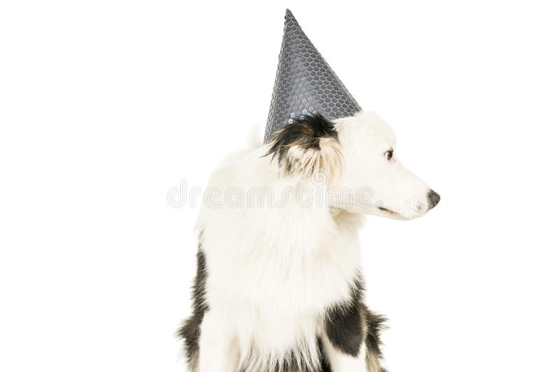 Australian Shepherd dog in white background with a birthday hat. Black and white Australian Shepherd dog sitting isolated in white background with a birthday hat stock photography