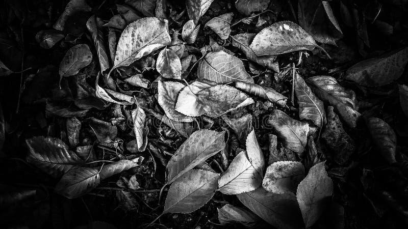Black&White Autumn Leaves royalty free stock photos