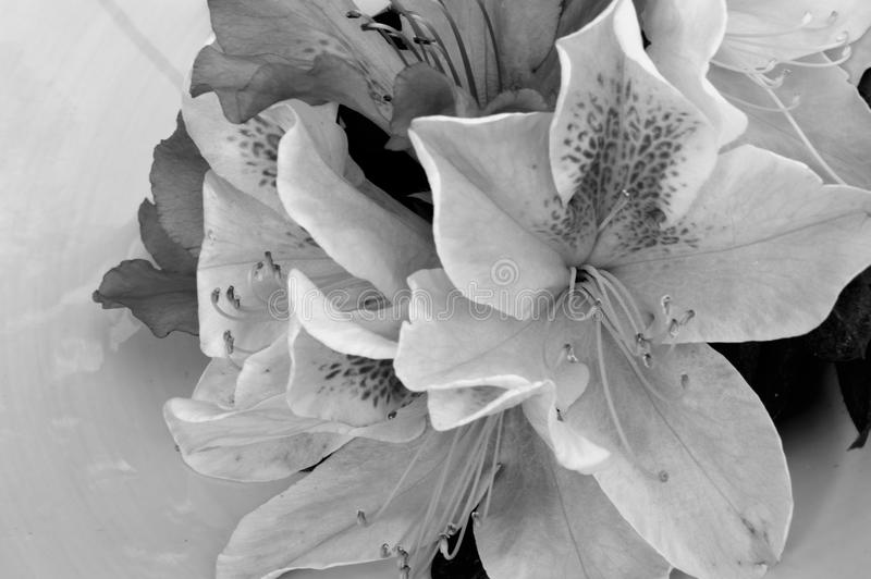 Black and white azaleas in a cluster stock photo image of flower download black and white azaleas in a cluster stock photo image of flower pretty mightylinksfo