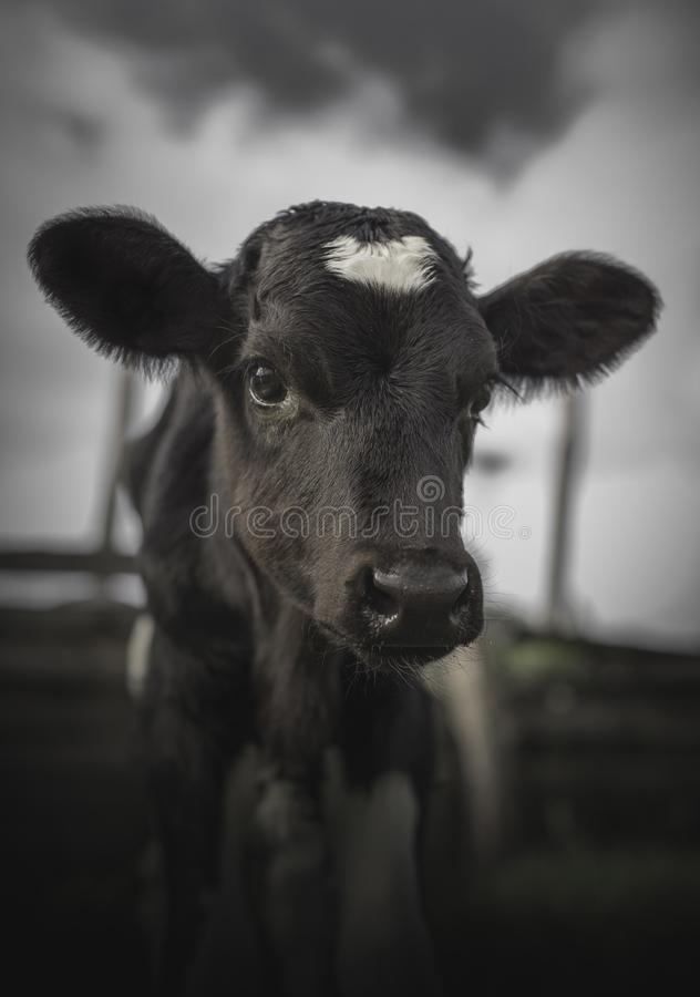 Baby Cow on an Ecuadorian Farm Staring at Camera on a Cloudy Day stock photography